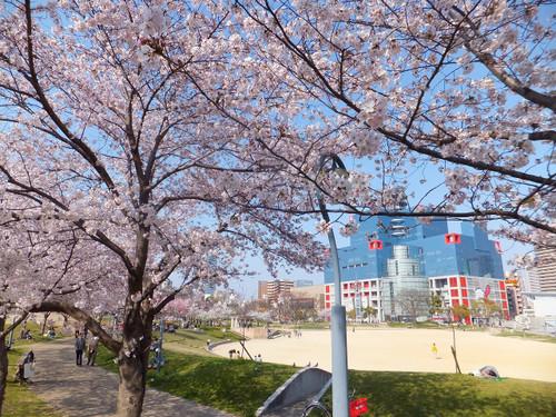 大阪の桜 【扇町公園】