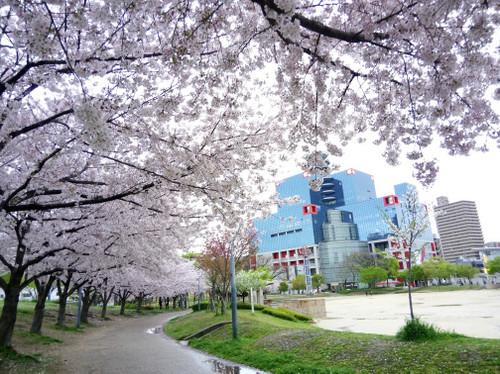大阪・扇町公園の桜