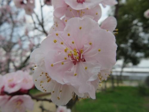 あんず(杏)の花